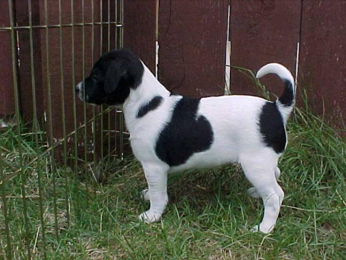 Датско-шведский гардхунд (danish-swedish garhund) - животные и природа