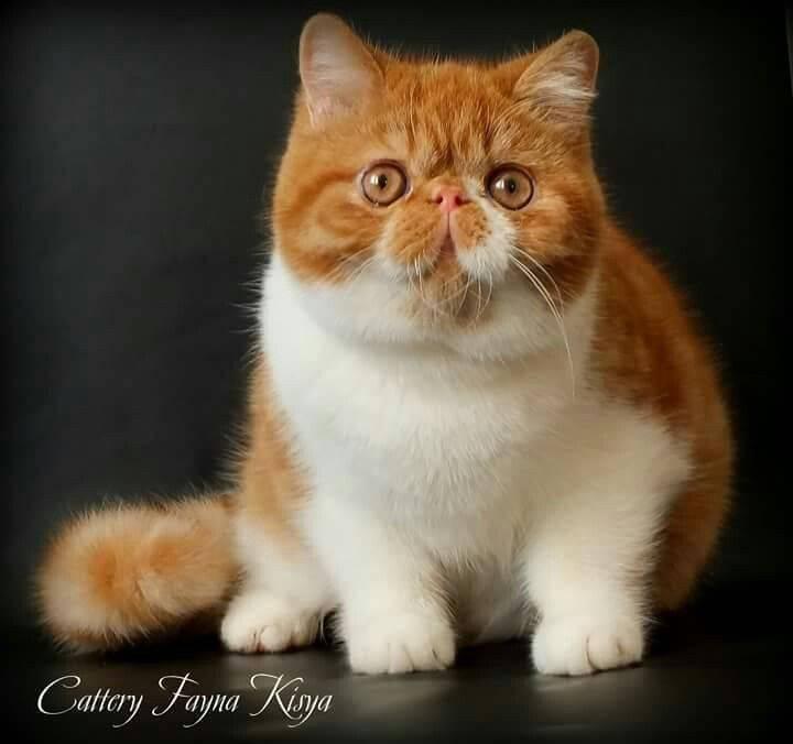 Экзотическая кошка – что это за порода и чем отличается от персов?