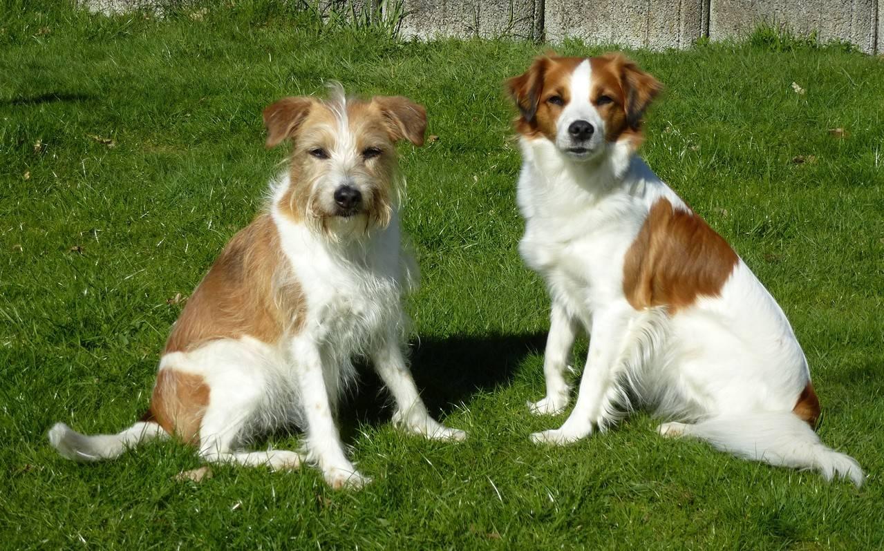 Доберман собака. описание, особенности, уход и цена добермана | sobakagav.ru