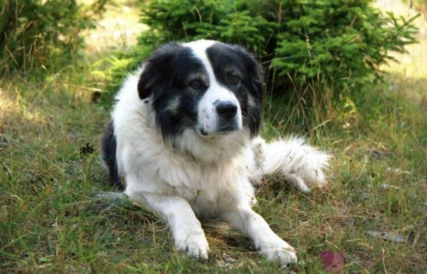 Болгарская овчарка (каракачанская собака)