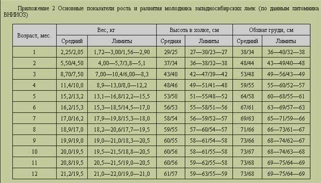 Параметры чихуахуа: стандартные размеры и вес, таблица роста щенков по месяцам и факторы, влияющие на их развитие