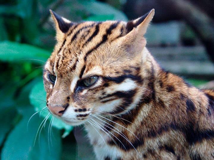 Особенности внешности азиатских леопардовых кошек