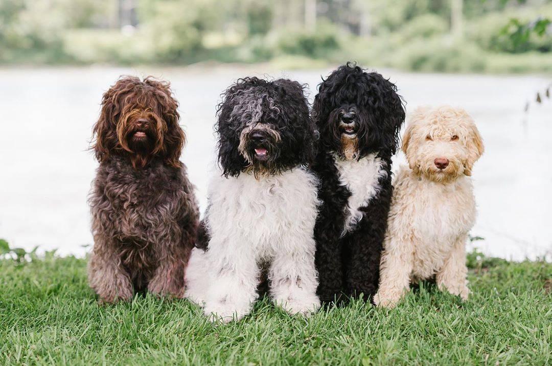 Бурбуль: все о собаке, фото, описание породы, характер, цена