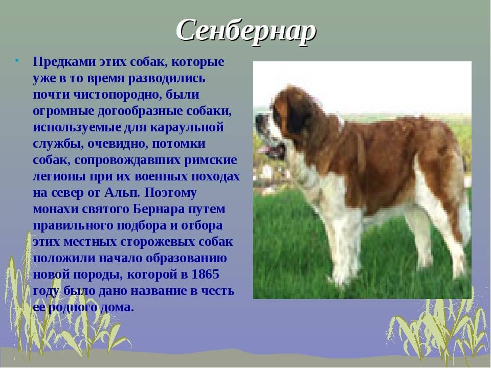 Сенбернар — описание породы, характер | dog-care - журнал про собак