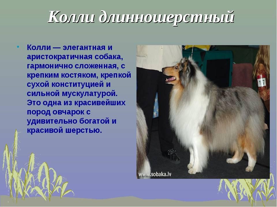 Немецкая овчарка. описание породы собак. немецкая овчарка. описание породы собак.