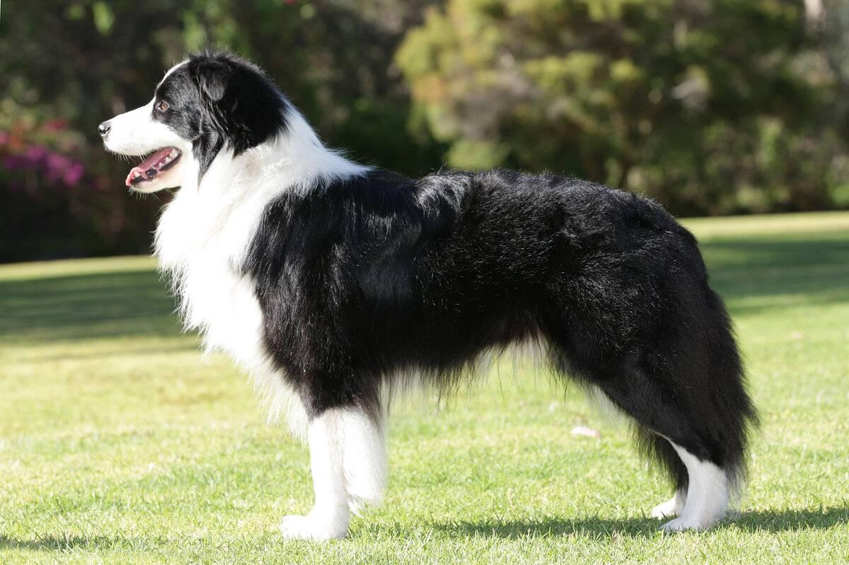 Топ 10 самых умных собак в мире