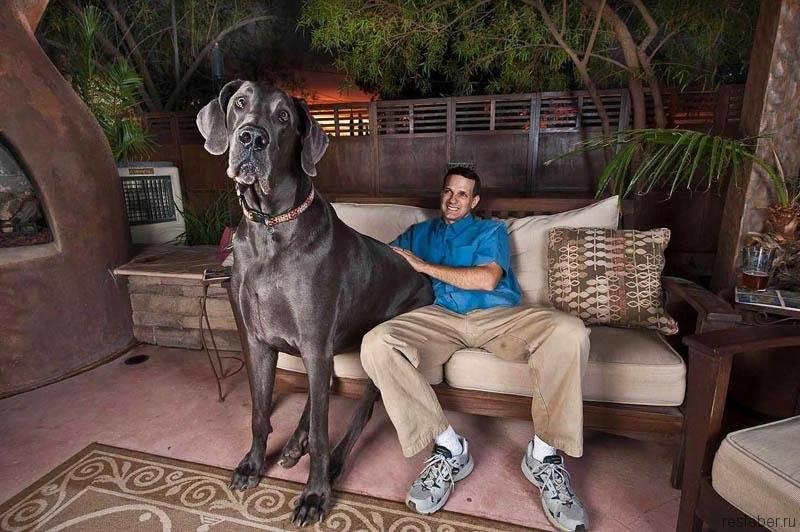 Самая сильная собака в мире по боям