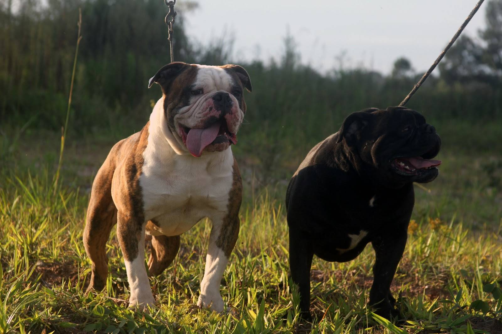 Бразильский бульдог собака. описание, особенности, виды, уход и цена породы
