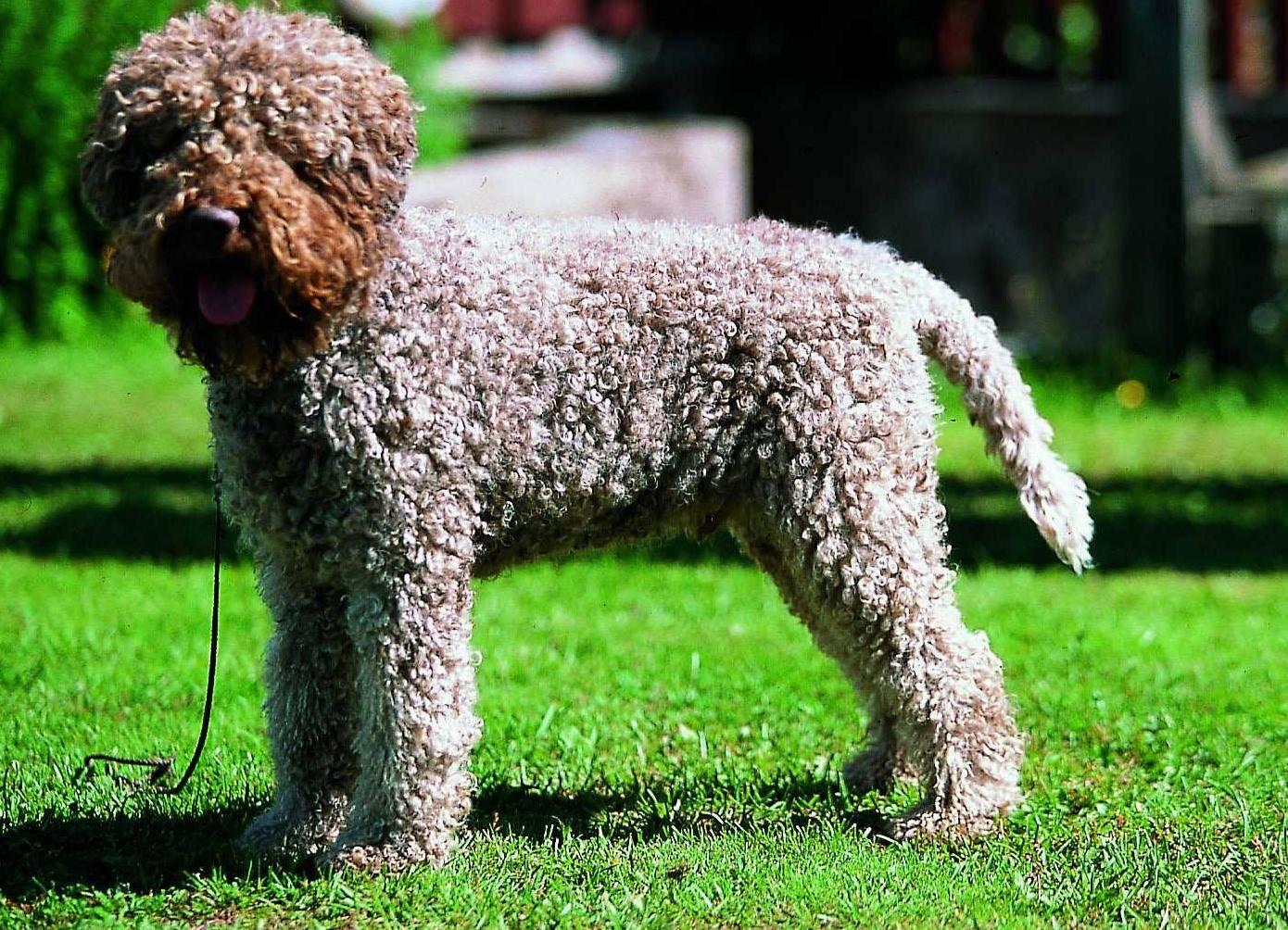 Португальская водяная собака: стандарты и особенности ухода