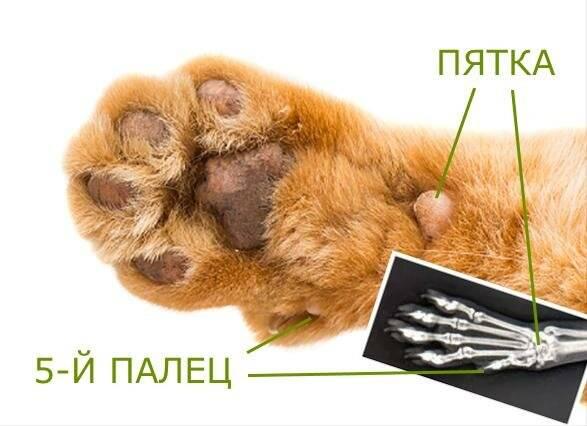 Сколько пальцев на лапах у кошки должно быть в норме?