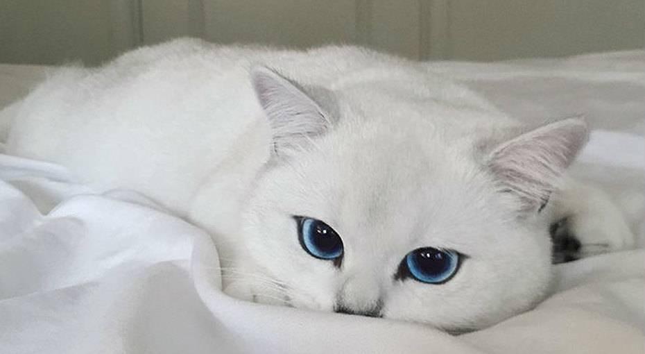 Обзор самых красивых пород котов с большими глазами: описание внешности