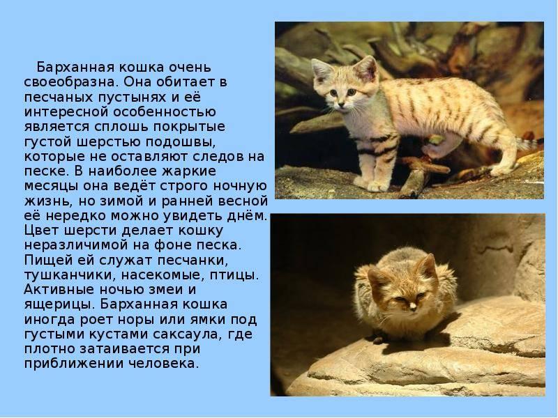 Барханный кот: описание, фото, уход, характер, цена - kisa.su