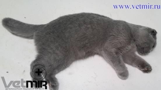 Асцит (водянка) у кошек