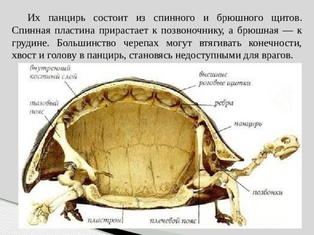 В чем заключаются особенности строения скелета черепахи