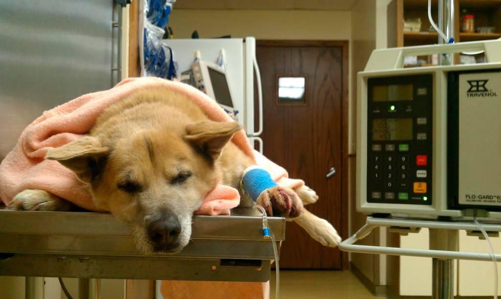 """Обсессивно-компульсивные расстройства собак (навязчивые состояния). ветеринарная клиника """"зоостатус"""""""
