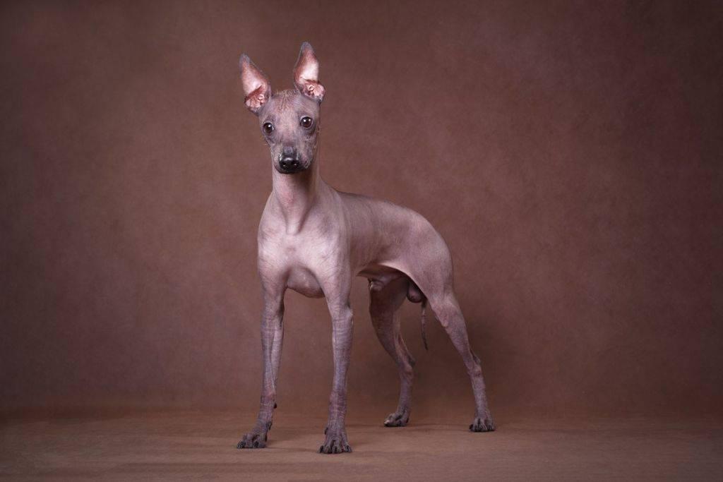 Лысые собаки — лучшие породы