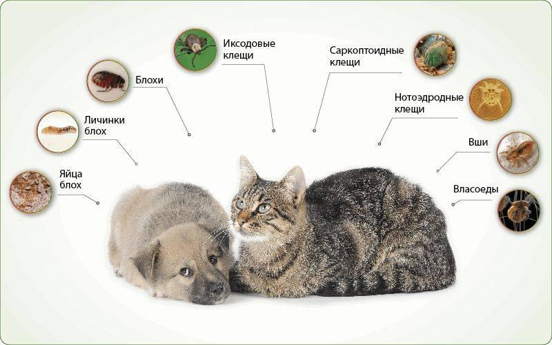 Глисты у кота: симптомы, лечение, профилактика