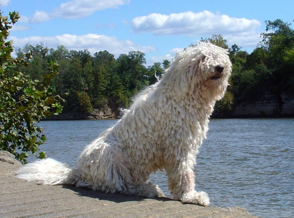 Собака командор или венгерская овчарка: фото и описание породы, особенности дрессировки и содержания породы