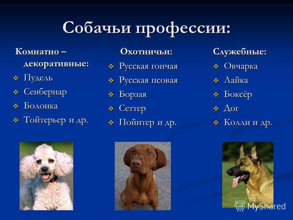 Собаки у которых выпадают глаза – породы и оказание первой помощи