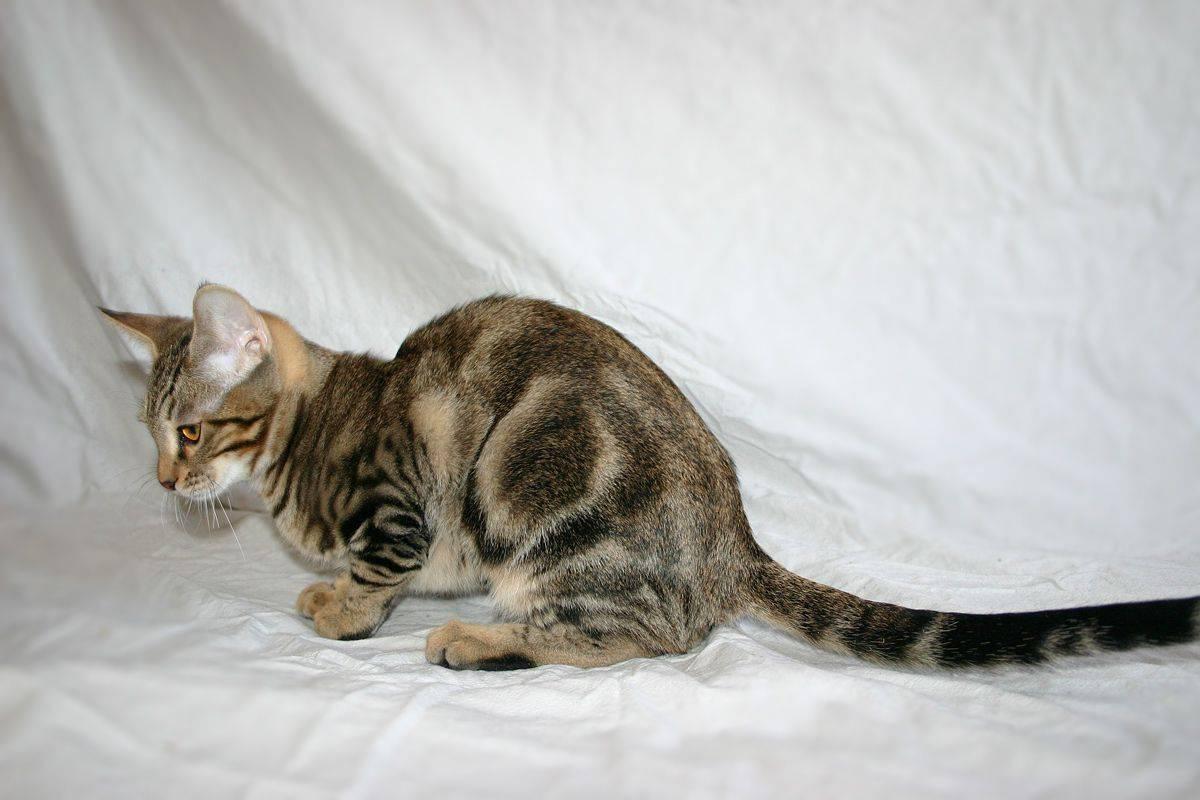 Сококе (соукок, кенийская лесная кошка)