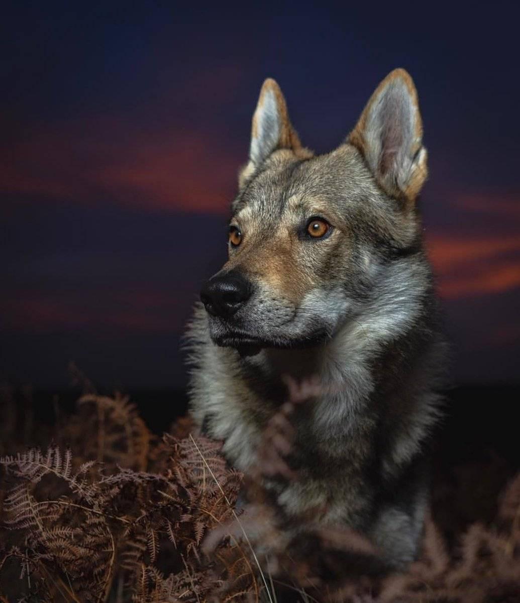 Чехословацкий влчак - описание породы и характер собаки