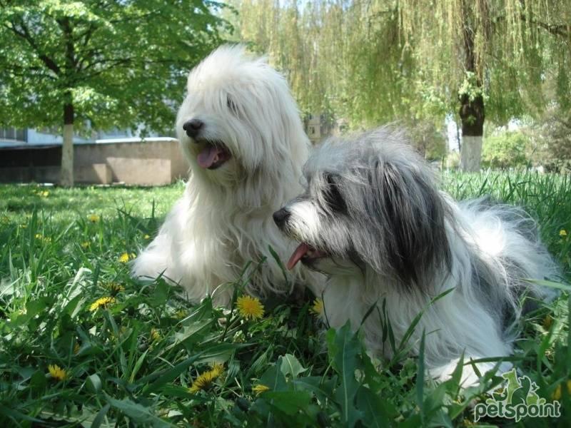 Собака породы одис - внешний вид, характер, кому подойдет