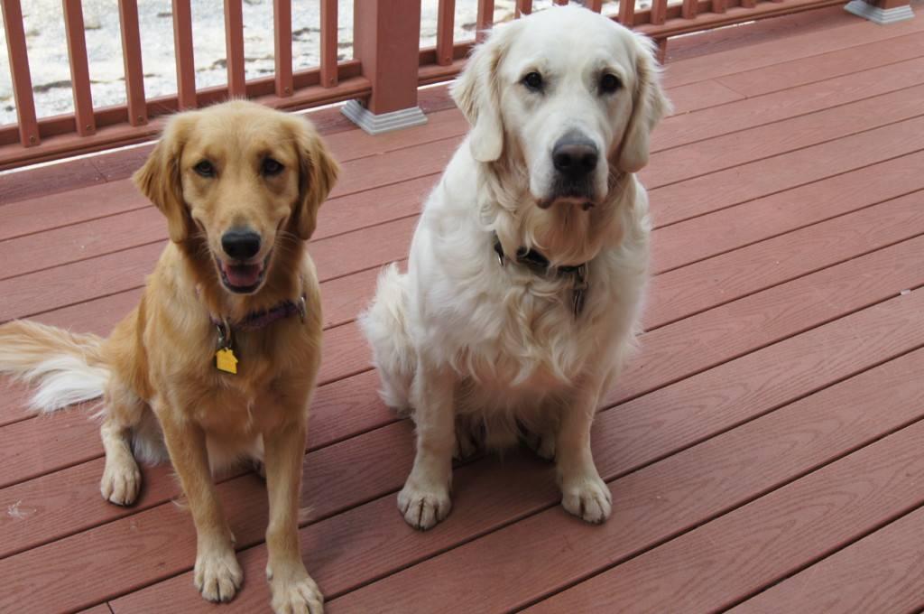 Ретривер и лабрадор: в чем разница и чем отличаются собаки, как выглядят на фото и каким характером обладают