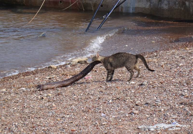 Породы кошек крысолов, кто лучше ловит мышей кот или кошка, охотятся ли стерилизованные и кастрированные