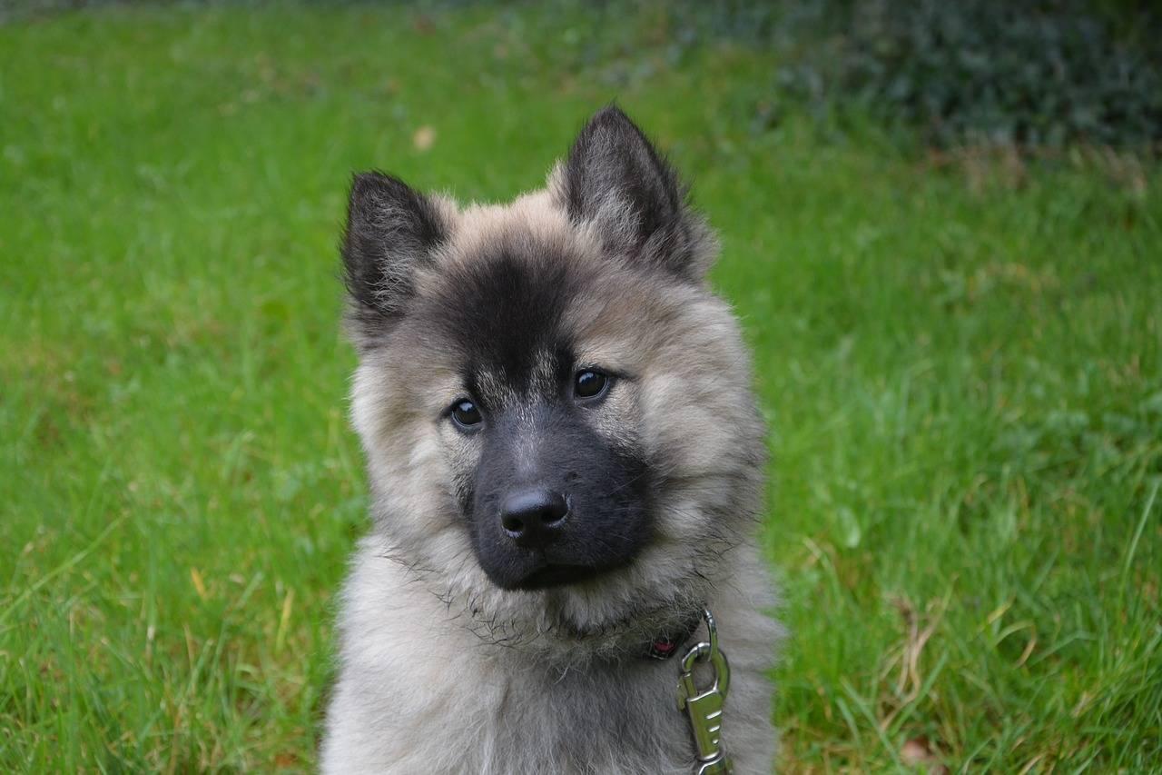 Порода собак евразиер