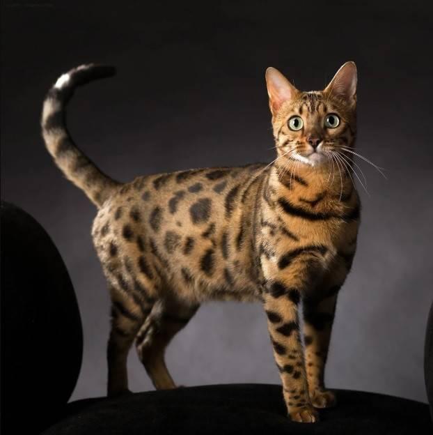 Пятнистая кошка: как называется порода