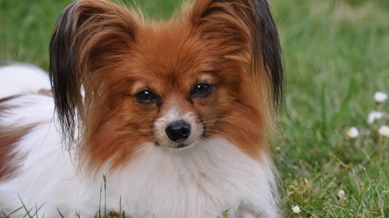 Карманные собачки - все породы с фото