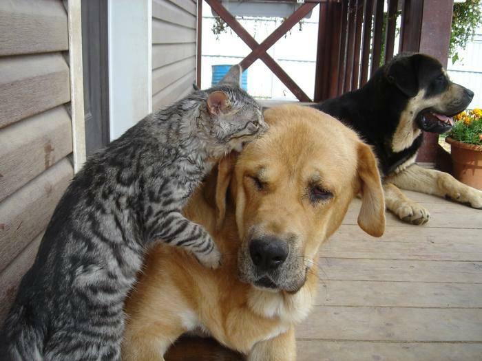 Почему кошки и собаки не понимают друг друга?