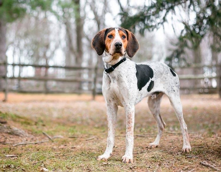 Кунхаунды (енотовые гончие) — фото, описание, классификация пород собак