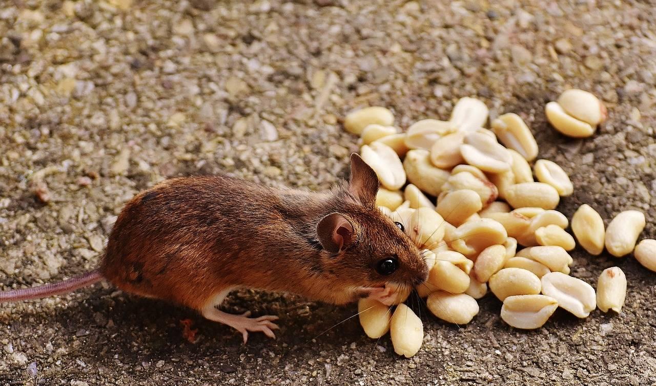 Избавляемся от мышей в огороде