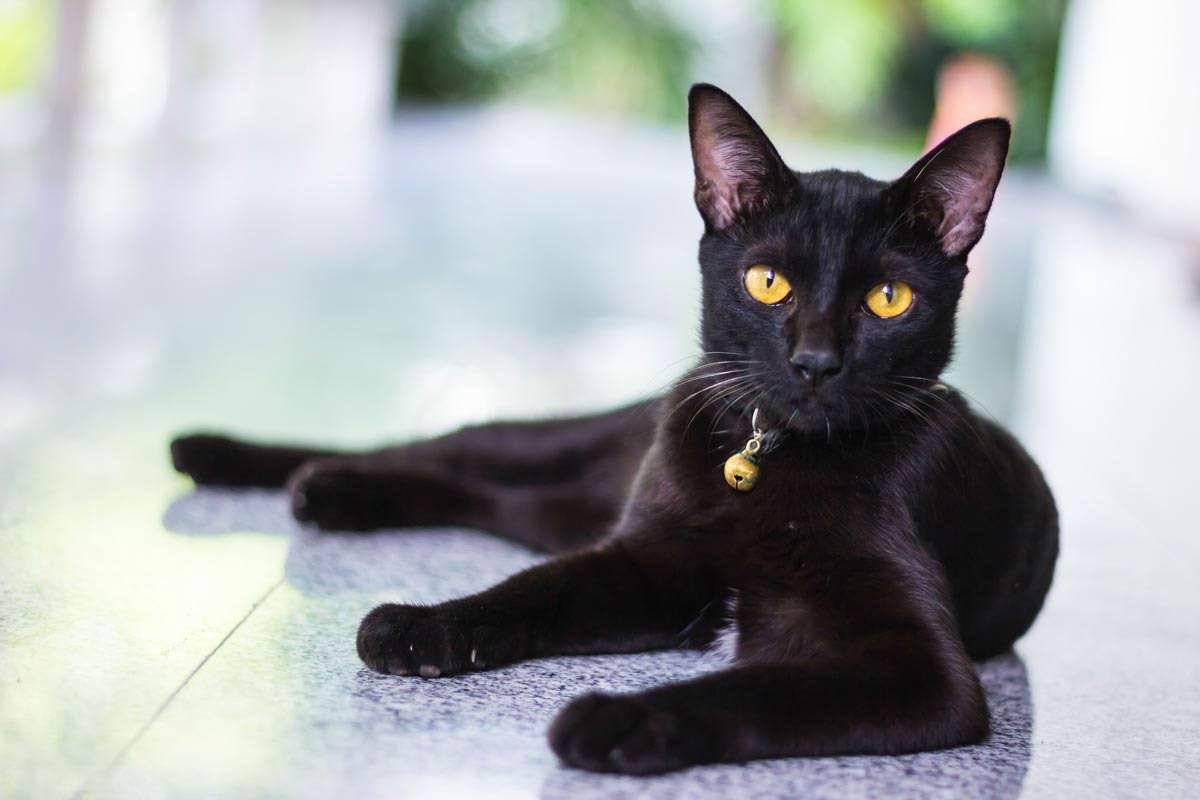 Бомбейская кошка: фото, описание породы, характер, здоровье, уход и содержание