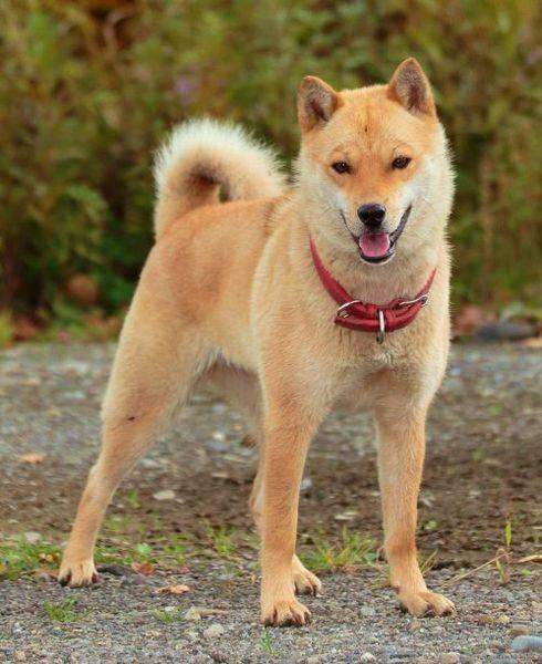 О японских собаках – названия пород, описание, фото
