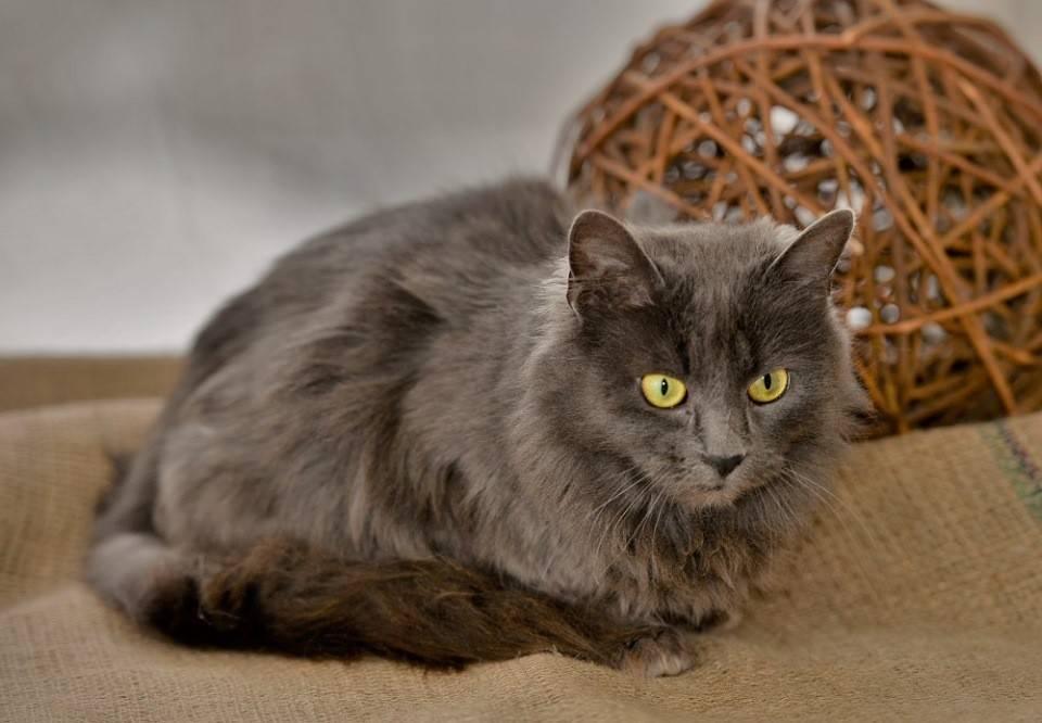 Нибелунг кошка: фото, видео, о породе, характере, уходе