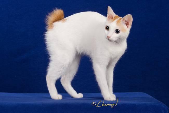 Японский бобтейл: описание породы, характер кошки, советы по содержанию и уходу, фото