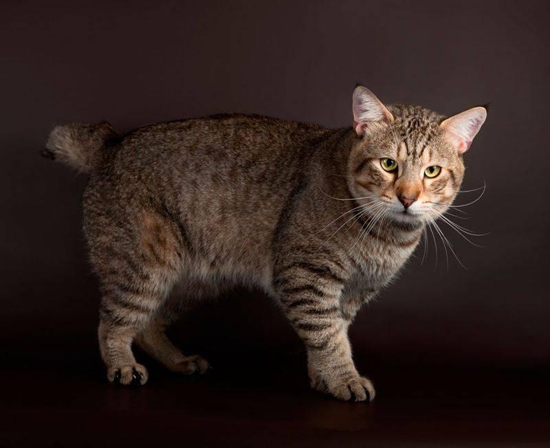 Породы кошек без хвоста   бесхвостые и короткохвостые коты c фото и названиями