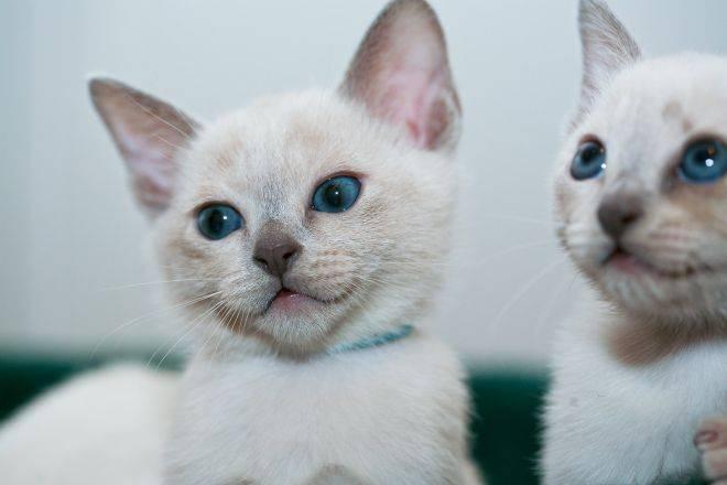 Тонкинская кошка: экзотическая красавица с глазами цвета аквамарин
