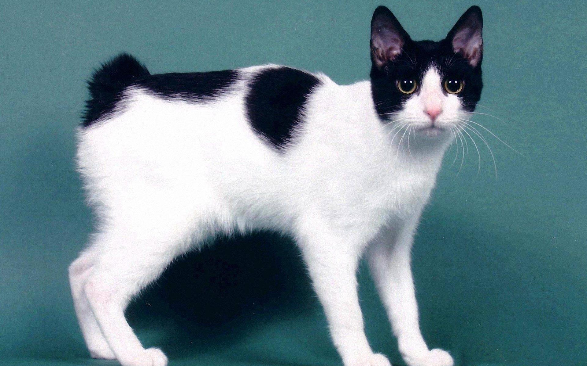 Подробное описание кошек породыяпонский бобтейл