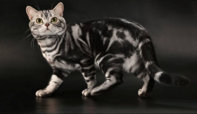 Короткошерстные кошки: список пород с фото, уход за шерстью
