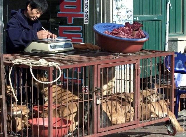 Едят ли корейцы собак | каких, почему, какую породу, зачем