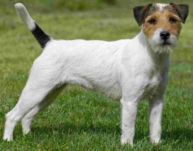 Парсон-рассел-терьер (31 фото): описание породы, характер щенков. стандарт гладкошерстных собак. вес и рост