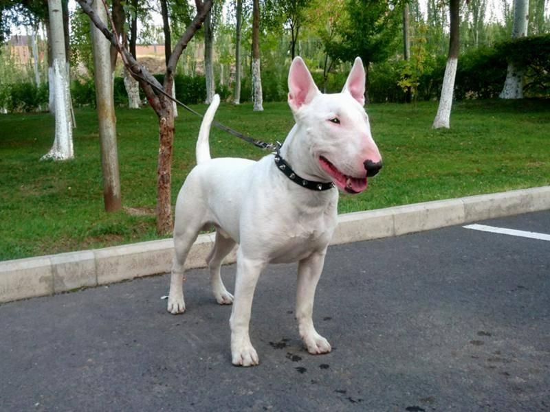 Собака с крысиной мордой: бойцовская порода