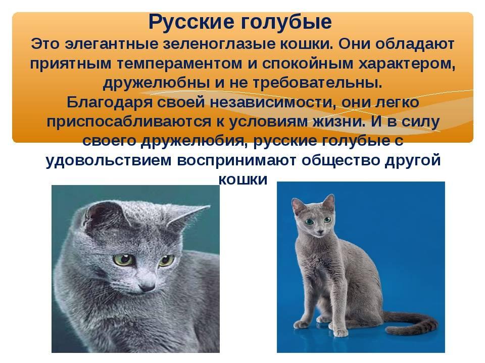 Выращивание сомалийского кота: описание породы сомали, характер, правила ухода