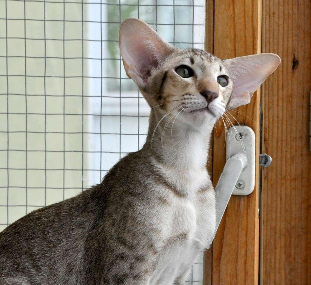 Ориентальная кошка. описание, особенности, цена и уход за ориентальной кошкой   животный мир