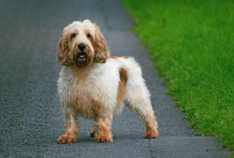 Тоса ину: как выглядит японская бойцовская собака, стандарт породы, характер мастифа