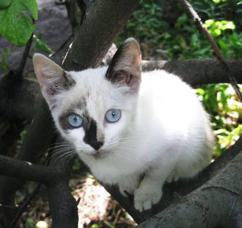 Сейшельская кошка - роскошная восточная красавица у вас дома - мир кошек