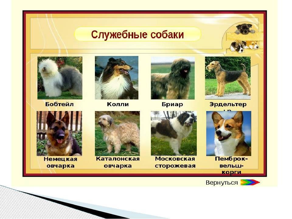 Сторожевые породы собак